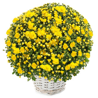 Gelbe Chrysanthemen