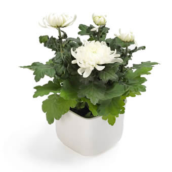 Pure white chrysanthemum