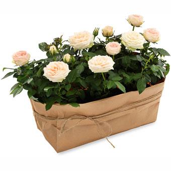 Topfpflanzen Verschenken valentinstag pflanzen