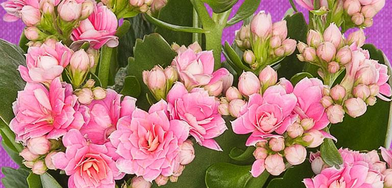 Pflanzen zum Muttertag verschicken